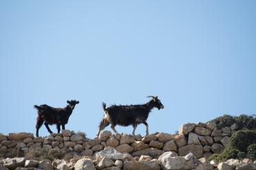 Goats of Donousa, 2016
