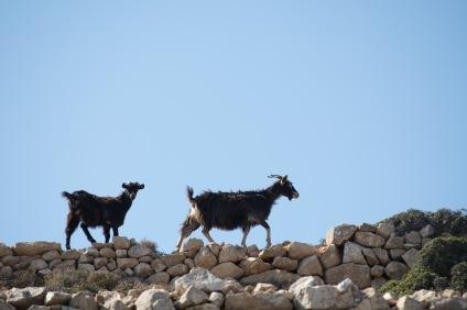 Goats of Donousa, 2016